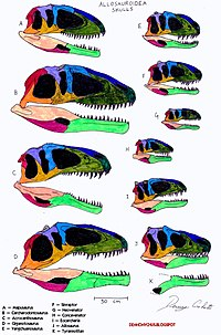 Allosauroidea skull comparison.jpg