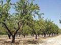 Almendros en el Campo de Borja.jpg