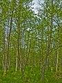 Alnus glutinosa - Burgwald 001.jpg