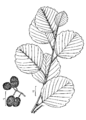Alnus glutinosa drawing 1.png