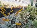 Aloe (5644536006).jpg