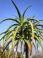 Aloe barberae 3c.JPG