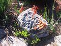 Aloe decumbens - Langeberg Sandstone Fynbos 2.JPG