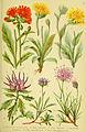 Alpen-Flora für Touristen und Pflanzenfreunde (Pl. 24) (6022060074).jpg