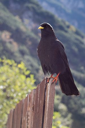 Alpine Chough (Pyrrhocorax graculus) sitting on a fence.jpg