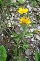 Alpine flora (Gru) (31859408471).jpg