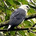 Amadonastur (Leucopternis) lacernulatus - White-necked Hawk.JPG