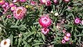 Amaranth-colored strawflower 02.jpg