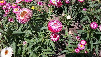 Amaranth-colored strawflower 02.jpg