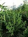 Amaranthus albus sl43.jpg