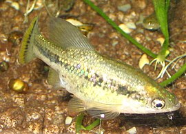 Ameca splendens male.JPG