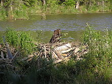A beaver sits on top of a dam.