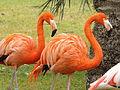 American Flamingoes 01.jpg