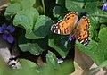 American Lady butterfly (33886053300).jpg
