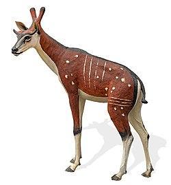 Ampelomeryx ginsburgi MHNT.PAL.2006.0.36 - Reconstitution 3D grandeur nature.jpg