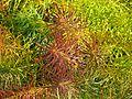 Amsonia hubrichtii autumn foliage - Flickr - peganum (2).jpg