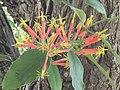 Amylotheca dictyophleba Mistletoe IMG 3603 (5560956384).jpg