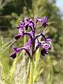 Anacamptis longicornu (flower spike).jpg