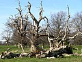 Ancient Trees, Felbrigg Park - geograph.org.uk - 524129.jpg