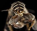 Ancyloscelis apiformis, m, paraguay, angle 2014-08-08-09.40.23 ZS PMax (15046496632).jpg