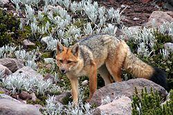 Un renard de Magellan, à 5000 mètres d'altitude, dans le paramo, en Équateur