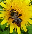 Andrena sp. - Flickr - gailhampshire (9).jpg