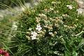 Androsace villosa PID1122-2.jpg