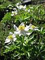 Anemone narcissiflora 04.jpg