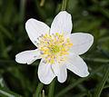 Anemone nemorosa - pistils.jpg