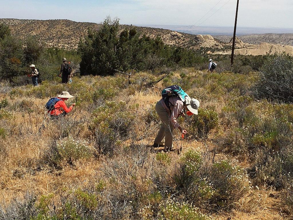 Équipe d'archéologues amateurs encadrée par deux archéologues professionnels du Forest Service archaeologists pour une mission de prospection dans une section des montagnes San Gabriel