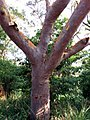 Angophora costata - upper trunk.jpg