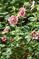 Anisodontea capensis 05.jpg