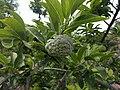 Annona squamosa 20180920 133234.jpg