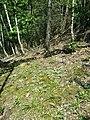Antennaria dioica sl69.jpg