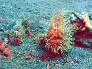 Antennarius striatus.JPG