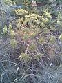 Apiales - Anethum graveolens 3 - 2011.07.11.jpg