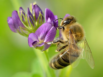 Honey bee (Apis mellifera), a pollinator on alfalfa flower Apis mellifera - Medicago sativa - Valingu.jpg