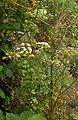 Apium graveolens3.jpg