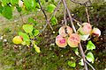 Apples on an Apple Tree-147677.jpg