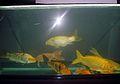 Aquarium fish18.JPG