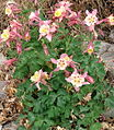 Aquilegia caerulea (Columbine).jpg