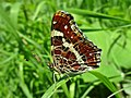 Araschnia levana (Nymphalidae) (Map Butterfly) - (imago), Elst (Gld), the Netherlands - 3.jpg