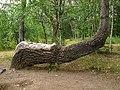 Arbol curvado * Crooked tree (15227606482).jpg