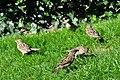 Arboretum - Passer domesticus 2010-09-20 15-20-42.JPG