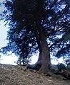 Arbre (Cèdre de l'Atlas) parc national de Belezma 6.JPG