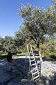 Archangelos Αρχάγγελος Rhodes Ρόδος 2019-11-27 11 olive harvest.jpg