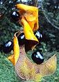 Archidendron bigeminum 14.JPG