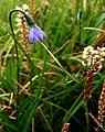 Arctic Harebell - Campanula uniflora (4828809341).jpg