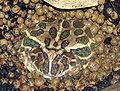 Argentine.horned.frog.arp.jpg