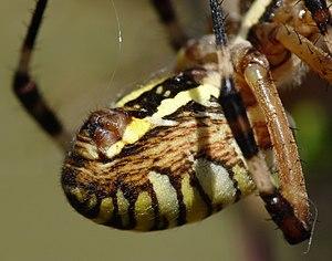 Spinneret - Image: Argiope bruennichi detail spinneret